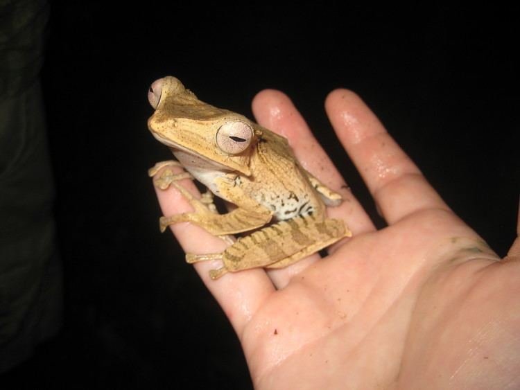 Polypedates otilophus Borneo Frog Paradise Claire Keely39s Research