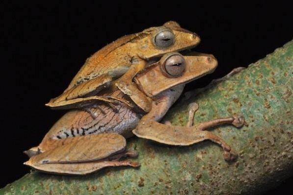 Polypedates otilophus wwwfrogsofborneoorgimagesPolypedatesotilophus