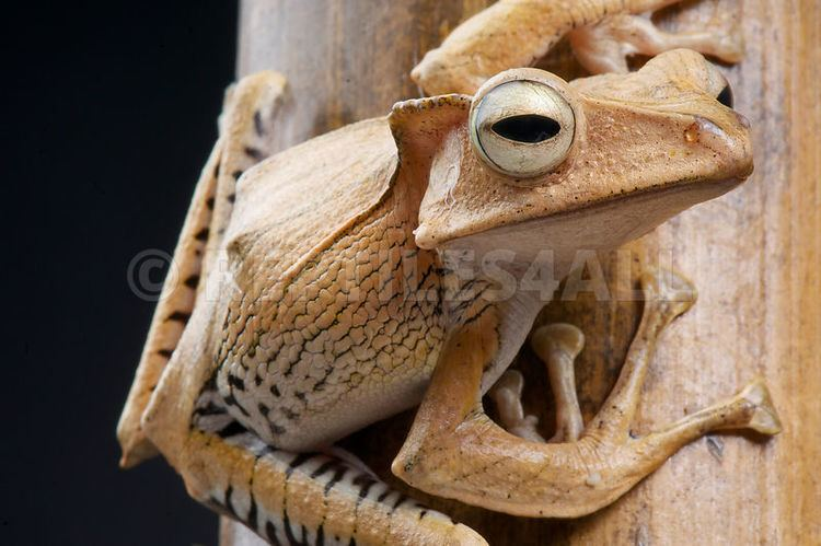 Polypedates otilophus REPTILES4ALL Polypedates otilophus Crested bamboo tree frog Borneo