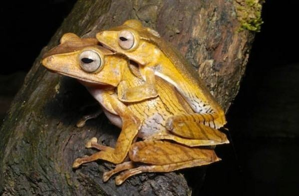 Polypedates otilophus Polypedates otilophus