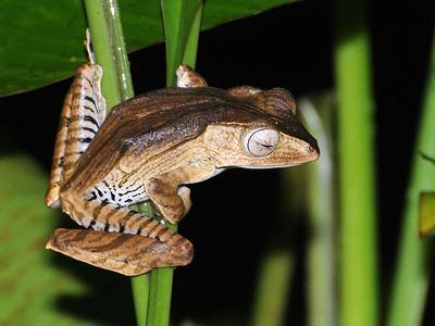 Polypedates otilophus Fileeared Tree Frog Polypedates otilophus