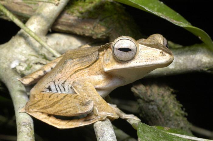 Polypedates otilophus CalPhotos