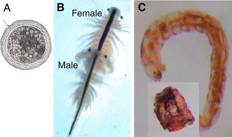 Polypedilum vanderplanki Constraints of tolerance why are desiccationtolerant organisms so