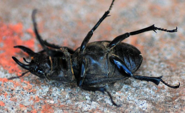 Polyphaga Animalia Arthropoda Insecta Coleoptera Polyphaga Scarabaei Flickr