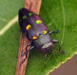 Polyphaga Polyphaga