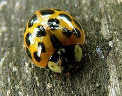 Polyphaga Polyphaga Coleoptera Wikispecies
