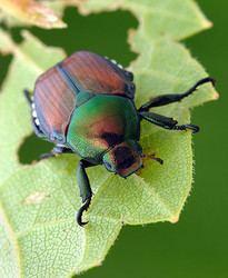 Polyphaga tolweborgtreeToLimagespopillia4250ajpg