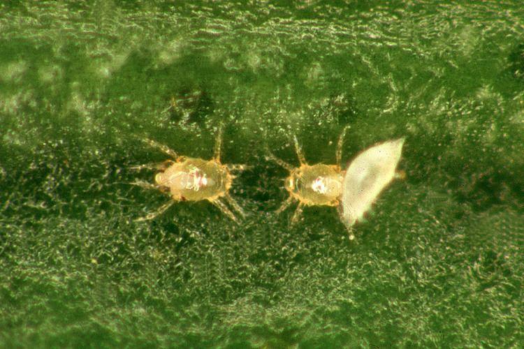 Polyphagotarsonemus latus Mites in citrus Department of Agriculture and Food