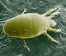 Polyphagotarsonemus latus httpsuploadwikimediaorgwikipediacommonsthu