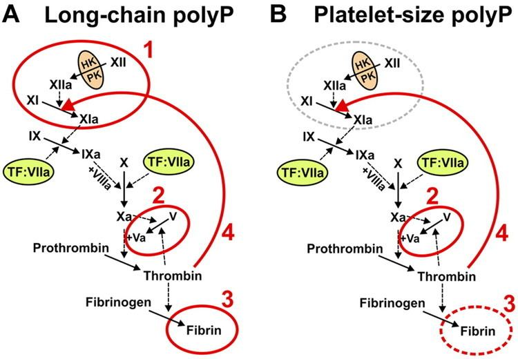 Polyphosphate Polyphosphate an ancient molecule that links platelets coagulation