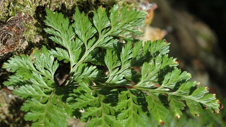 Polypodiaceae Flower Gallery Polypodiaceae NIKA8549