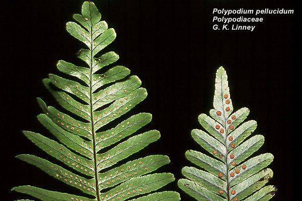Polypodiaceae wwwbotanyhawaiiedufacultycarrimagespolpel