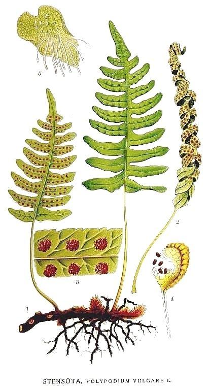 Polypodiaceae Polypodiaceae