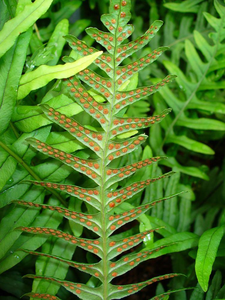 Polypodium Polypodium vulgare Wikiwand