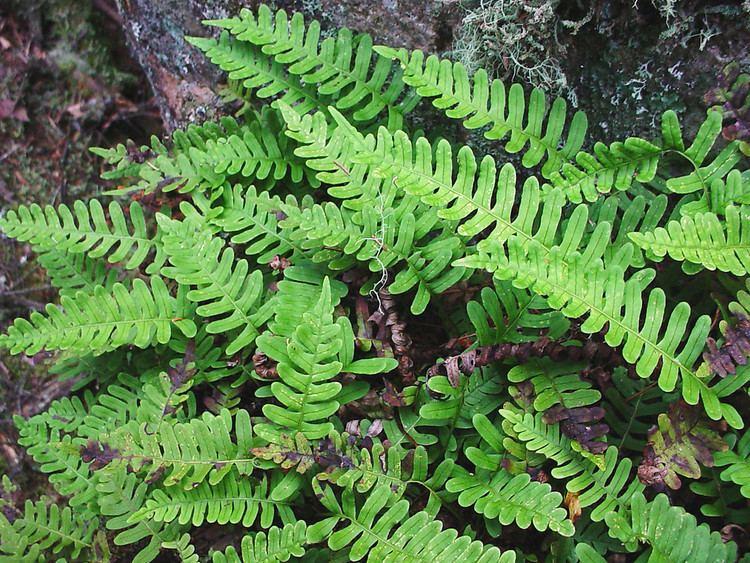 Polypodium Polypodium virginianum rock polypody Go Botany