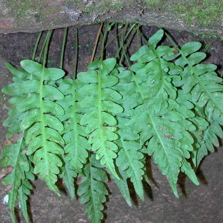 Polypodium hesperium SEINet Arizona Chapter Polypodium hesperium
