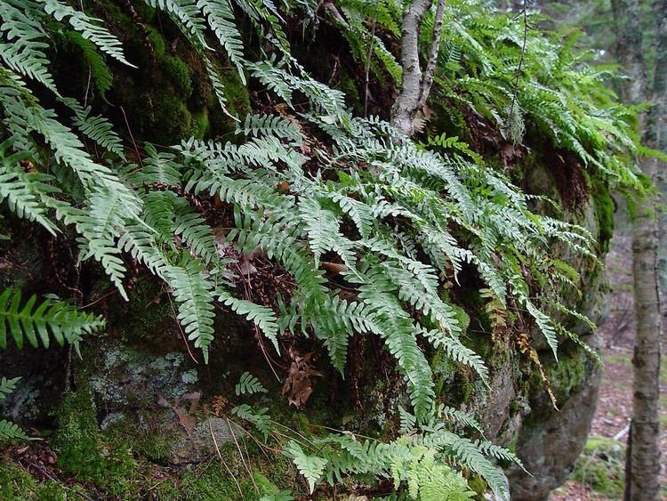Polypodium virginianum Polypodium virginianum rock polypody Go Botany