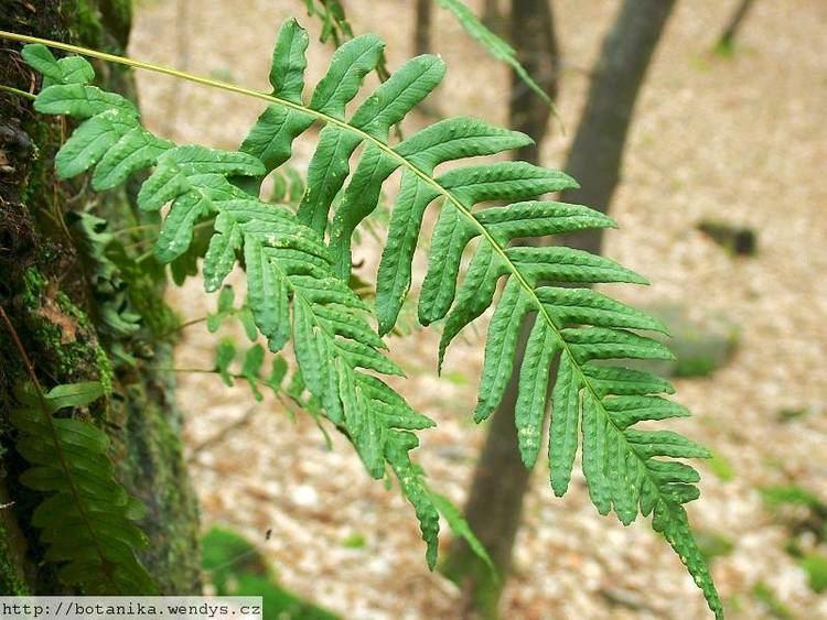 Polypodium vulgare medicinal herbs POLYPODY Polypodium vulgare