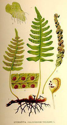 Polypodium vulgare httpsuploadwikimediaorgwikipediacommonsthu