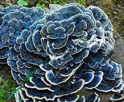 Polyporaceae Polyporaceae Wikispecies