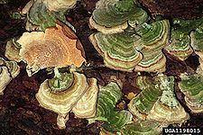 Polyporaceae httpsuploadwikimediaorgwikipediacommonsthu