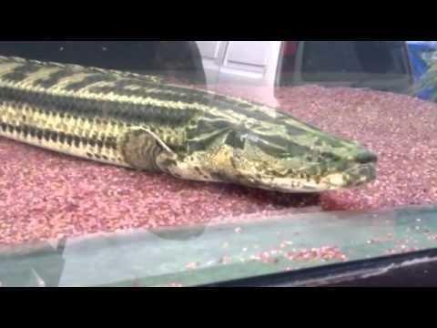 Polypterus bichir httpsiytimgcomvi3NxgizA1NUhqdefaultjpg
