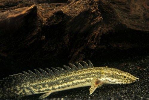 Polypterus lapradei lapradei polypterus tank raised reg polypterus lapradei Segrest Farms