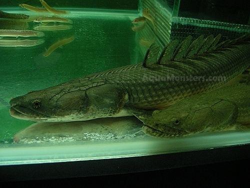 Polypterus lapradei httpssmediacacheak0pinimgcomoriginals26