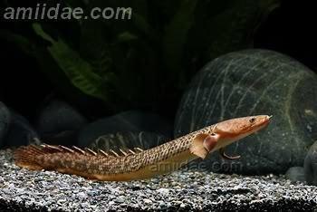 Polypterus teugelsi Polypterus teugelsi finally