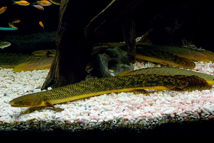 Polypterus teugelsi Polypterus Teugelsi Price Page 2 MonsterFishKeeperscom