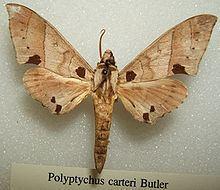 Polyptychus httpsuploadwikimediaorgwikipediacommonsthu