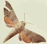 Polyptychus andosa httpsuploadwikimediaorgwikipediacommonsff