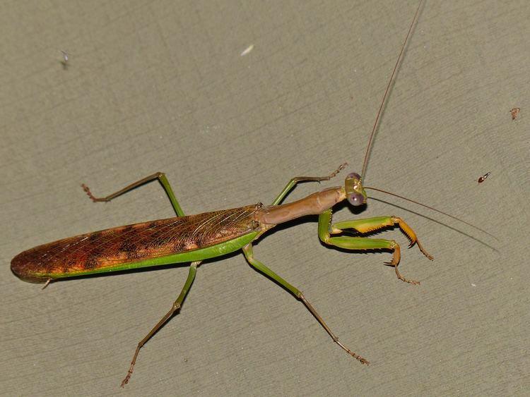 Polyspilota aeruginosa httpsuploadwikimediaorgwikipediacommonsbb