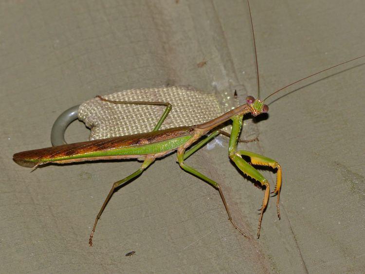 Polyspilota aeruginosa FileMadagascan Marbled Mantis Polyspilota aeruginosa 13924050322