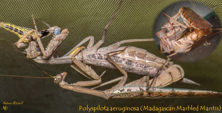 Polyspilota aeruginosa Polyspilota aeruginosa Madagascan Marbled Mantis 2nd instar 3 x