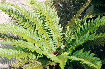 Polystichum aculeatum Polystichum aculeatum hard shield fernRHS Gardening