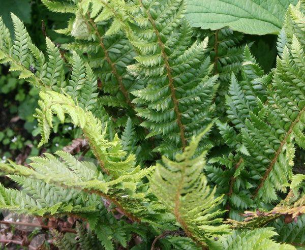 Polystichum aculeatum Buy hard shield fern Polystichum aculeatum Delivery by Crocus