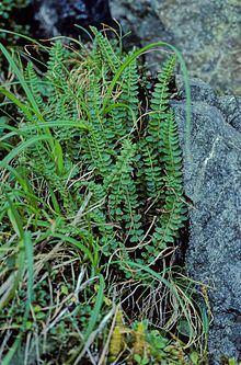 Polystichum aleuticum httpsuploadwikimediaorgwikipediacommonsthu