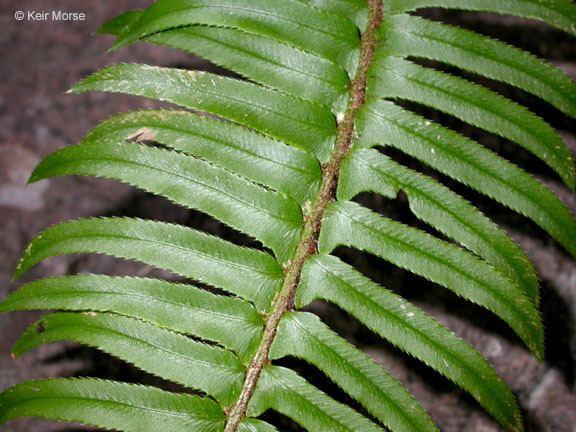 Polystichum imbricans CalPhotos Polystichum imbricans ssp curtum Narrowleaf Swordfern