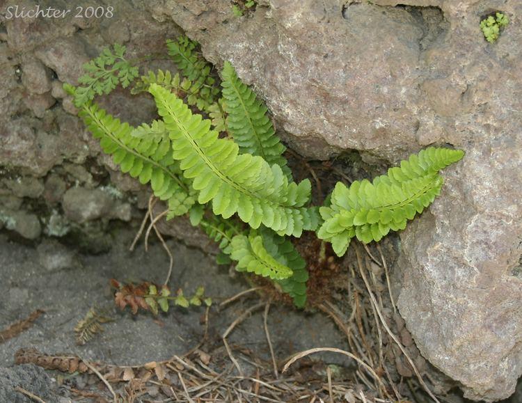 Polystichum imbricans leaved Swordfern Imbricate Sword Fern Polystichum imbricans ssp