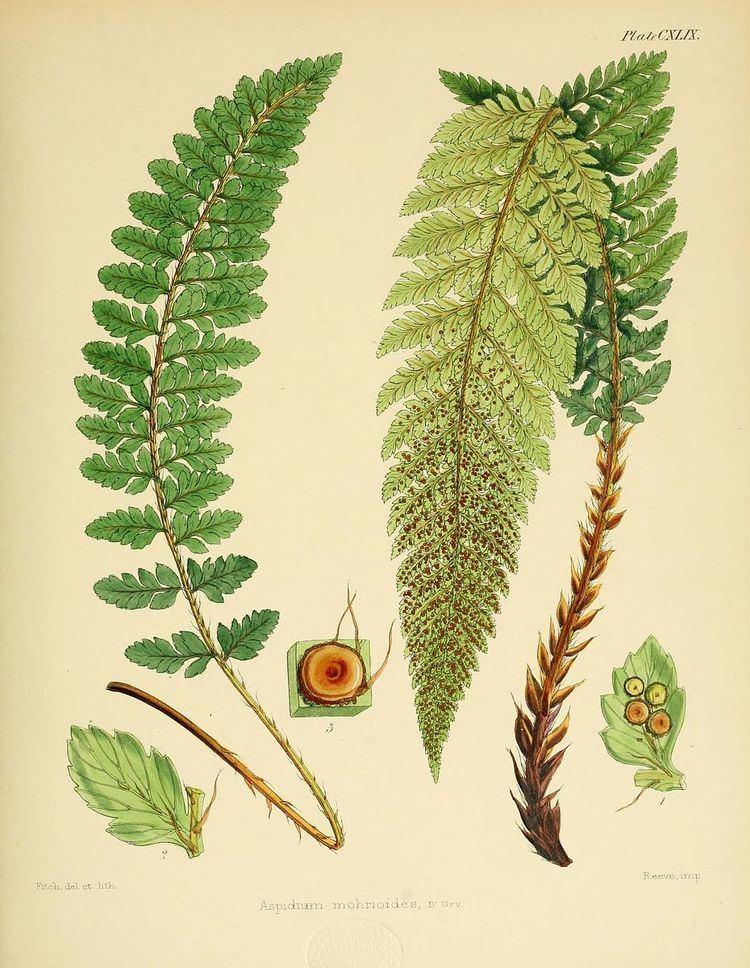 Polystichum mohrioides