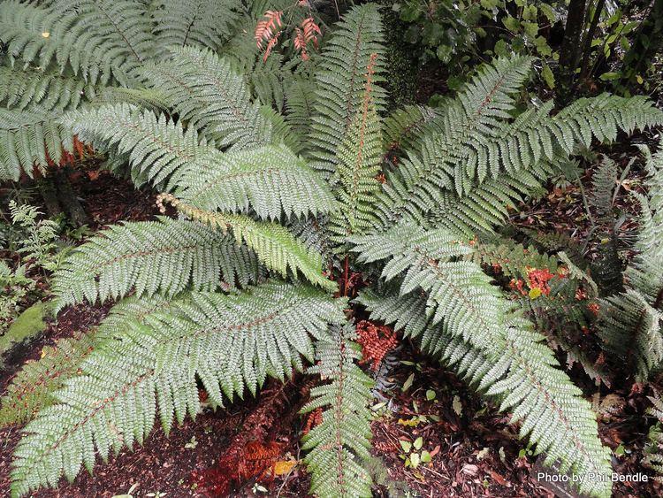 Polystichum vestitum Polystichum vestitum Prickly Shield Fern Friends of Te Henui
