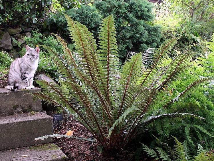 Polystichum vestitum Polystichum vestitum and Millie BPS Website