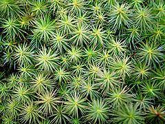 Polytrichum juniperinum httpsuploadwikimediaorgwikipediacommonsthu