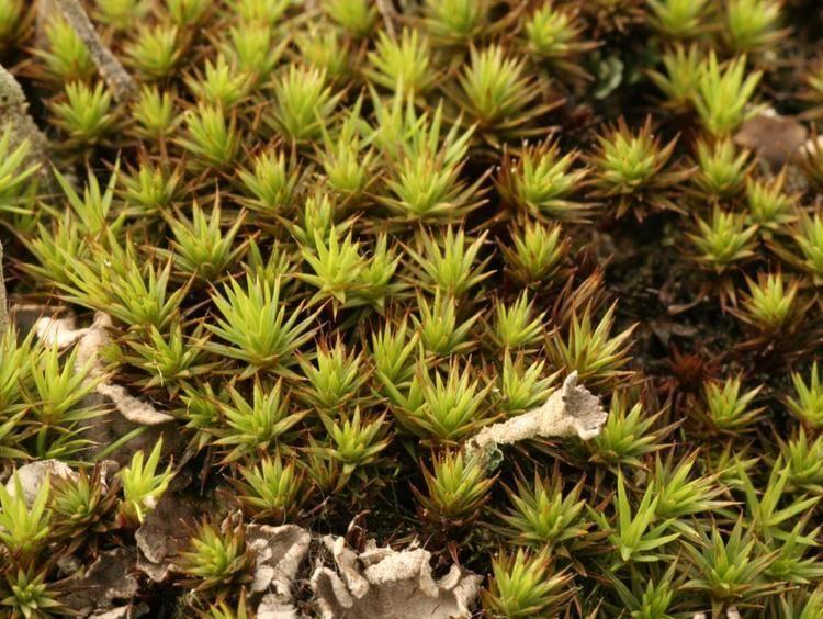 Polytrichum juniperinum Juniper Haircap Polytrichum juniperinum NatureSpot