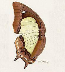 Polyura moori httpsuploadwikimediaorgwikipediacommonsthu