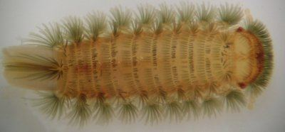 Polyxenida Tasmanian Multipedes Polyxenida