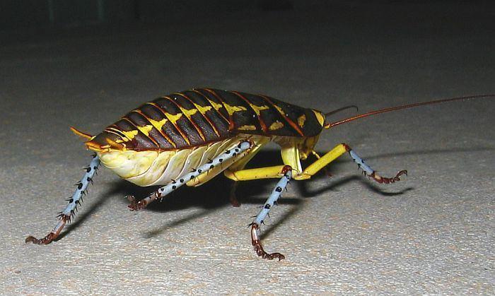 Polyzosteria Esperance Fauna Polyzosteria mitchelli Mardi Gras Cockroach