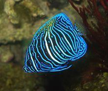 Pomacanthus maculosus httpsuploadwikimediaorgwikipediacommonsthu
