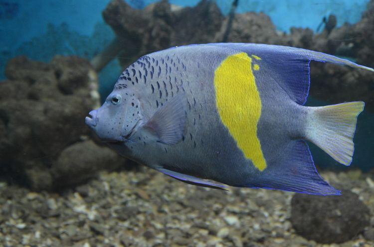Pomacanthus maculosus FilePomacanthus maculosus at Red Sea Aquarium by Hatem Moushir 1